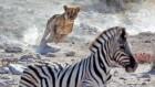 Evolutionary race as predators hunt prey