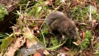 Worm-eating mountain mice showcase evolution in action