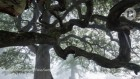 Oaks last 800 years with help of DNA double take