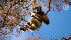 Ancient gibbon from Chinese tomb may be first ape to go extinct since the Ice Age