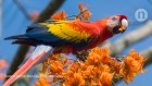 Americans farmed a huge and raucous parrot a millennium ago