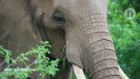 How extremely dry skin safeguards African elephants