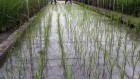 World's largest rice gene bank secures permanent funding