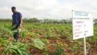 How African scientists are improving cassava to help feed the world
