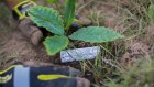 Transgenic trees face rocky path from farm to forest