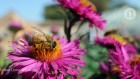 City gardens are a boon for threatened bees