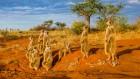 Resilient meerkats