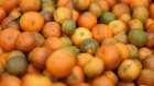 Spraying diseased citrus orchards with antibiotics could backfire