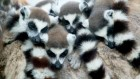 The stalwart lemurs that can cope with sleep deprivation