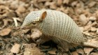 Why the screaming hairy armadillo weeps