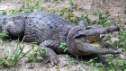 Bones reveal a jumbo crocodile hiding in plain sight