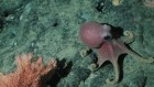 Rosy octopuses are more warty the deeper they dwell in the sea