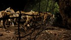 India's tigers seem to be a massive success story — many scientists aren't sure