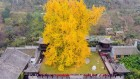 How 600-year-old ginkgo trees stay youthful