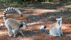 Lemurs' love language is fragrance