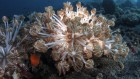 Model system might reveal how coral cells take up and evict algae