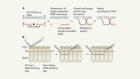 Demystifying the D-loop during DNA recombination