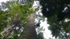 Why Borneo's trees are the loftiest on Earth