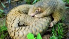 Pangolins in peril get a hand from human neighbours