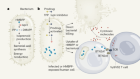 A two-pronged attack on antibiotic-resistant microbes