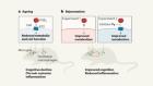 Reversal of immune-cell shutdown protects the ageing brain