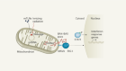 Breaks in mitochondrial DNA rig the immune response