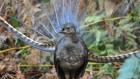Liar lyre: male lyrebirds try to get more sex with frightening falsehoods