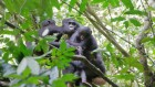 Bonobo mums open their arms to outsider orphans