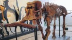 Prehistoric dwarf elephants lost weight in no time