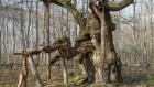 Ancient oaks of Europe are archives — protect them