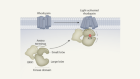 Receptor–enzyme complex structures show how receptors start to switch off