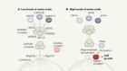 How the amino acid leucine activates the key cell-growth regulator mTOR