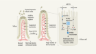 Fructose in the diet expands the surface of the gut and promotes nutrient absorption