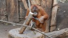Clever orangutans invent nutcrackers from scratch