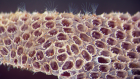 Bryozoan fossils found at last in deposits from the Cambrian period