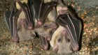 Baby bats try out their 'sonar' just after birth