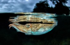 Cuttlefish wear their thoughts on their skin