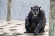 NIH releases plan for determining whether sick research chimps should be moved to sanctuaries