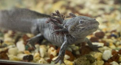Biology's beloved amphibian — the axolotl — is racing towards extinction