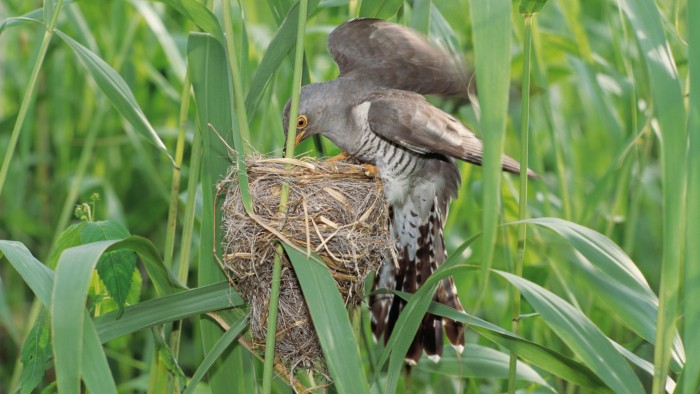 The seldom-heard call of the female cuckoo puts other birds on edge.