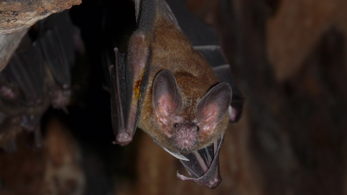 A male fringe-lipped bat flashes his stinky arm crust.