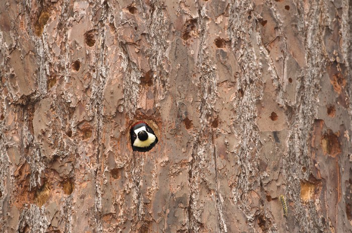 Acorn Woodpecker peeks her head out of her nest cavity inside a tree. California.