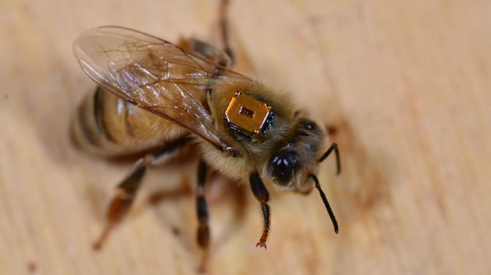A worker honeybee has been fitted with a chip on its back so researchers can record its range of motion.