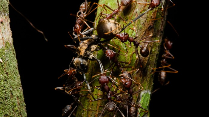 If it weren't for ants, detritus would pile up in many forests.