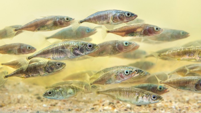 The most daring individuals lead schools of sticklebacks.