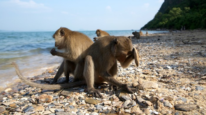 Long-tailed macaques use stone tools to crack open cockles at low tide.