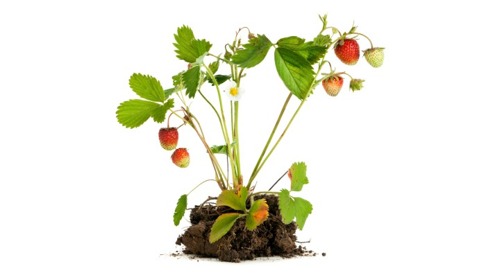 Strawberry plants can make either seeds or clones