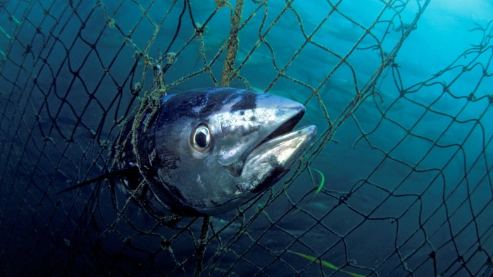 Fishing pressure is depleting the oceans of old fish.